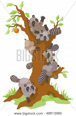 Group Of Raccoons Dominating An Old Persimmon Tree
