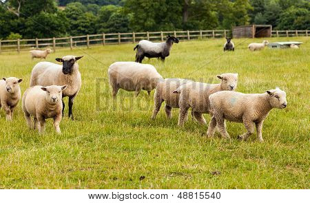 Sheep With Lambs On Farm In England.