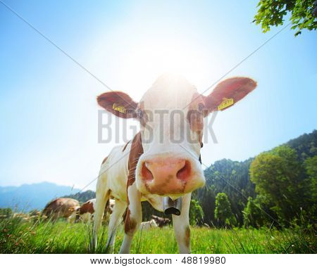 Cow grazing on a green summer alpine meadow