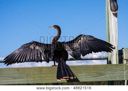 Anhinga Darter With Wings Spread