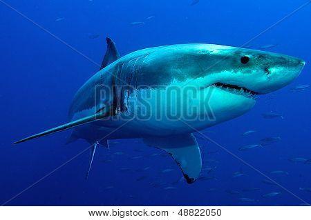 white Shark in blue water