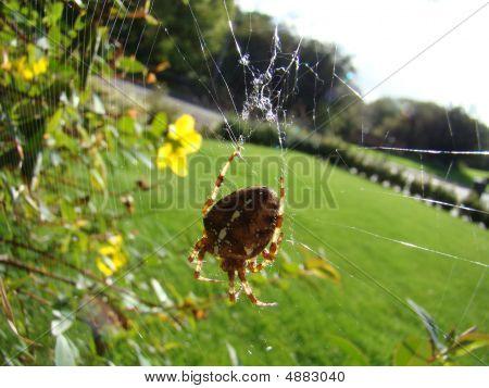 Garden Spider,araneus Diadematus