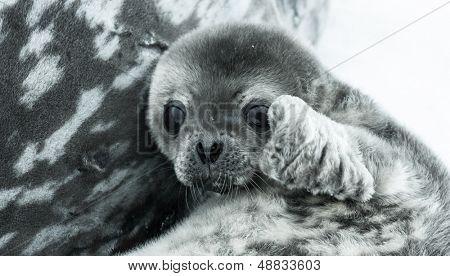 baby seal in Antarctica. close up portrait