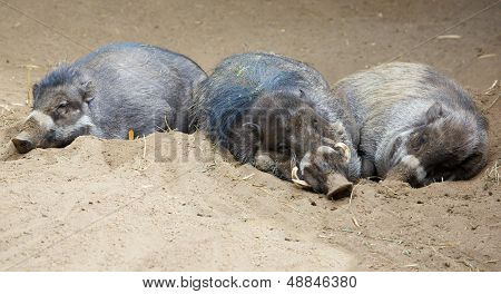 Three sleeping Sleeping North Sulawesi babirusa, an Indonesian pig