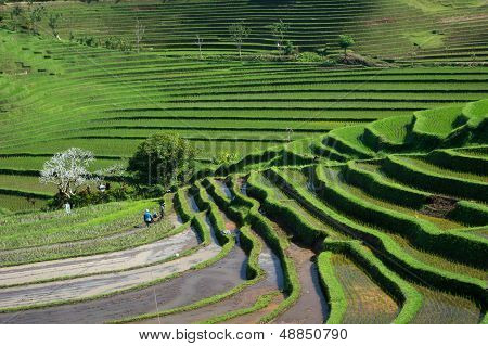 Unique Balinese Ricefields