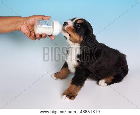 Thirsty 6 weeks old Bernese Mountain dog puppy drinking milk