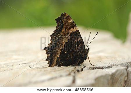 Nymphalis xanthomelas (Yellow-legged Tortoiseshell) butterfly