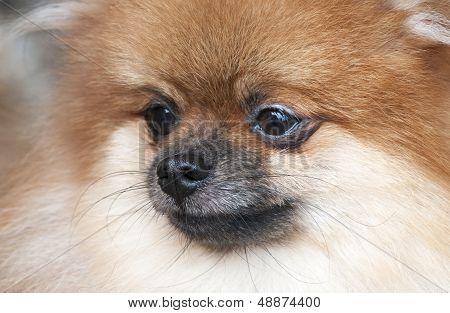 Portrait Of Pomeranian. Dog Show.