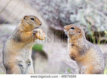 Two Ground Squirells On The Rock