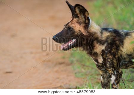 Wild Dog Standing Looking For Prey