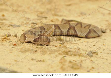 Akistrodon Contortrix Contortrix/ Southern Copperhead