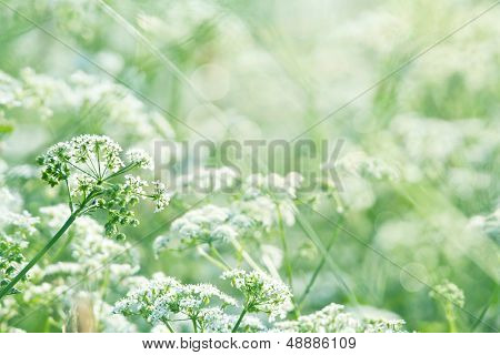 Green Summer Meadow With Queen Annes Lace