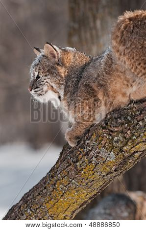 Bobcat (Lynx rufus) On Branch - Profile