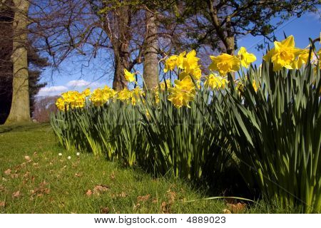 Daffodils In Woodland At Spring Time