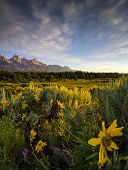 stock photo of blacktail  - Sunflowers at dawn at Blacktail Ponds Overlook in Grand Teton National Park WY - JPG