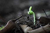 stock photo of tamarind  - growth green seedling tree tamarind and new life - JPG