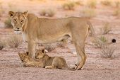 stock photo of lioness  - Lioness and cubs play in the Kalahari on sand as a family - JPG