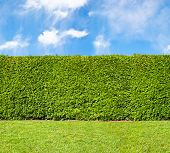 stock photo of tall grass  - Tall hedge endless seamless horizontal pattern with sky - JPG