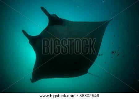 Manta Sillhouette