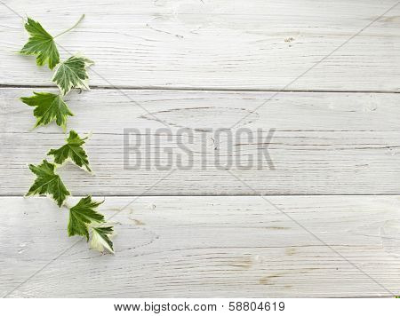 Green ivy plant Hedera helix close up in wooden surface background with copy space