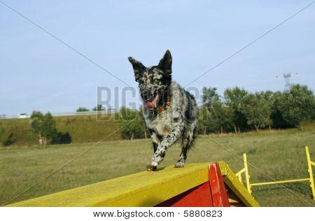 Mudi Crossing The Dog Walk Obstacle