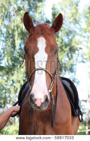 Chestnut Horse Portrait With Bridle