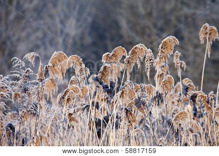 Close-up Of Dry Grass In The Frost And Shadow On Snow
