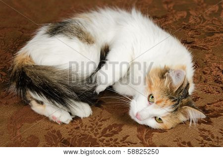 Cute Young Calico Torbie Kitten Cat