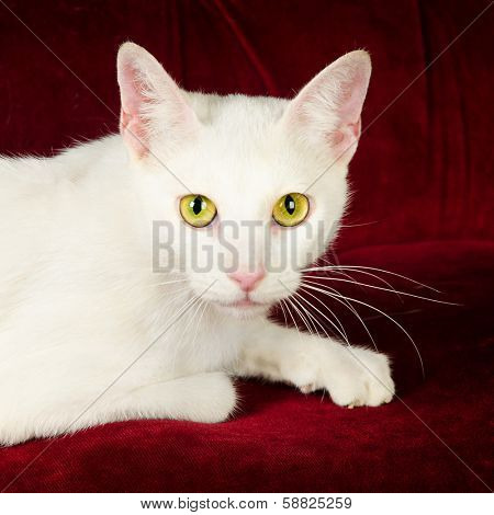 Beautiful White Cat Kitten posing on Red Velvet Couch