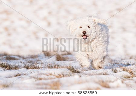 Puli In Snow
