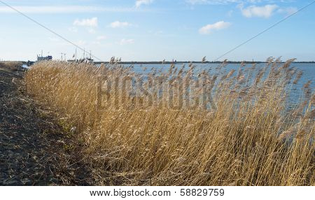 Reed along a dike in a lake in winter