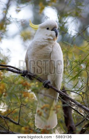 Cockatoo on a tree - 1