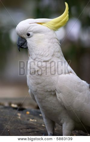 Cockatoo's head