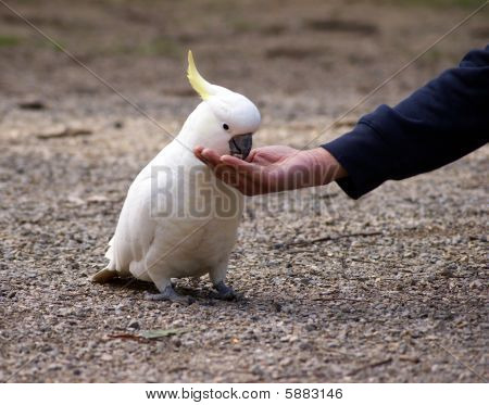 Feeding cockatoo - 1
