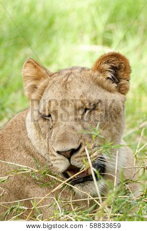 Drowsy Lioness