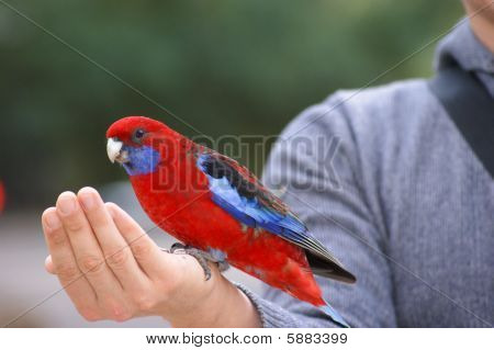 Eating Crimson Rosella