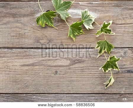 Green ivy plant Hedera helix close up in wooden surface background with copy space  for your text