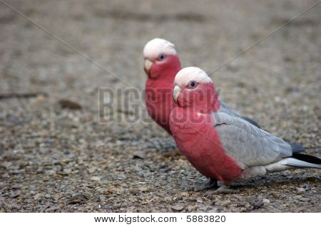 Couple of galah