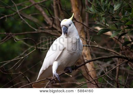 Wild cockatoo on a tree