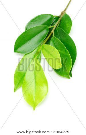 Shinny Green Leaves