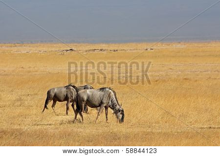 Blue wildebeest (Connochaetes taurinus) on open grassland, Amboseli National Park, Kenya