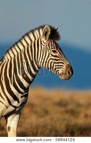 Portrait of a Plains (Burchells) Zebra (Equus quagga burchelli), South Africa