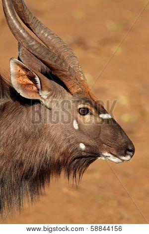 Portrait of male Nyala antelope (Tragelaphus angasii), Mkuze game reserve, South Africa