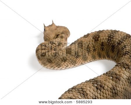 Saharan Horned Viper (cerastes Cerastes)  against white background