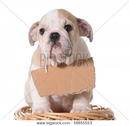 pet adoption - bulldog puppy wearing blank cardboard sign
