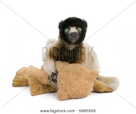 Young Crowned Sifaka Holding Teddy Bear, Propithecus Coronatus, Sitting Against White Background