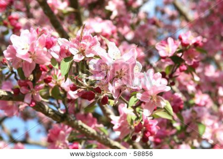 Blossoming Crabapple In Spring