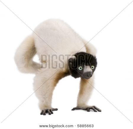 Young Crowned Sifaka, Propithecus Coronatus, 1 Year Old, Doing Handstand Against White Background
