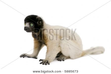 Side View Of Young Crowned Sifaka, Propithecus Coronatus, 1 Year Old, Sitting Against White Backgrou