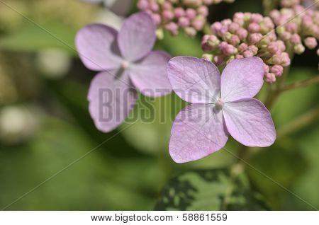 Hydrangea macrophylla tricolor